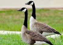 Two different perspectives on Denver's Goose population.