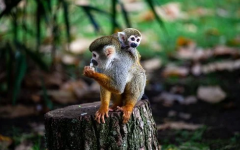Covid-19 vaccine and monkeys. What do they have in common?
